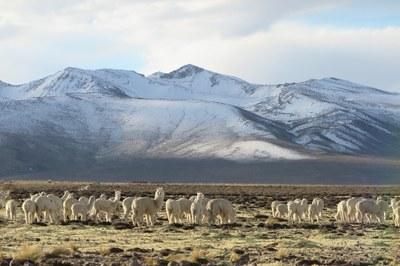 Alpaca herd near the Ccoypani field site.