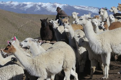 Alpaca herder near the Ccoypani field site.