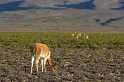 Vicuna--wild ancestor of the alpaca--seen grazing near the Ccoypani field site.